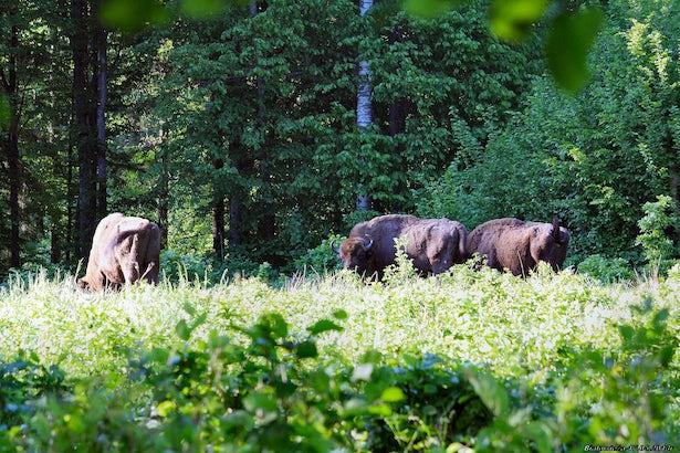 La forêt de  Białowieża, l'une des dernières et plus grandes forêts vierges d'Europe, abritant de nombreuses espèces animales et végétales, est un site inscrit au patrimoine mondial de l'UNESCO.