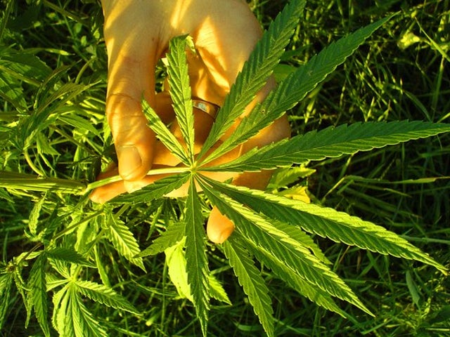 Cannabis sativa   hemp by shannonmcfarland.jpg?ixlib=rails 0.3
